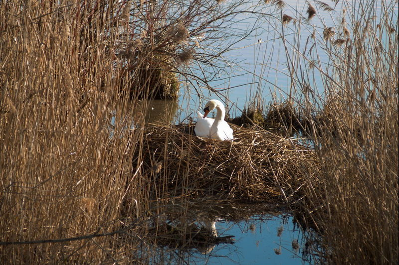 Nesting Swan Animal Family Animal Themes Animal Wildlife Bird Lake Nature Nesting Swan Outdoors Swan Water Bird Waterfront