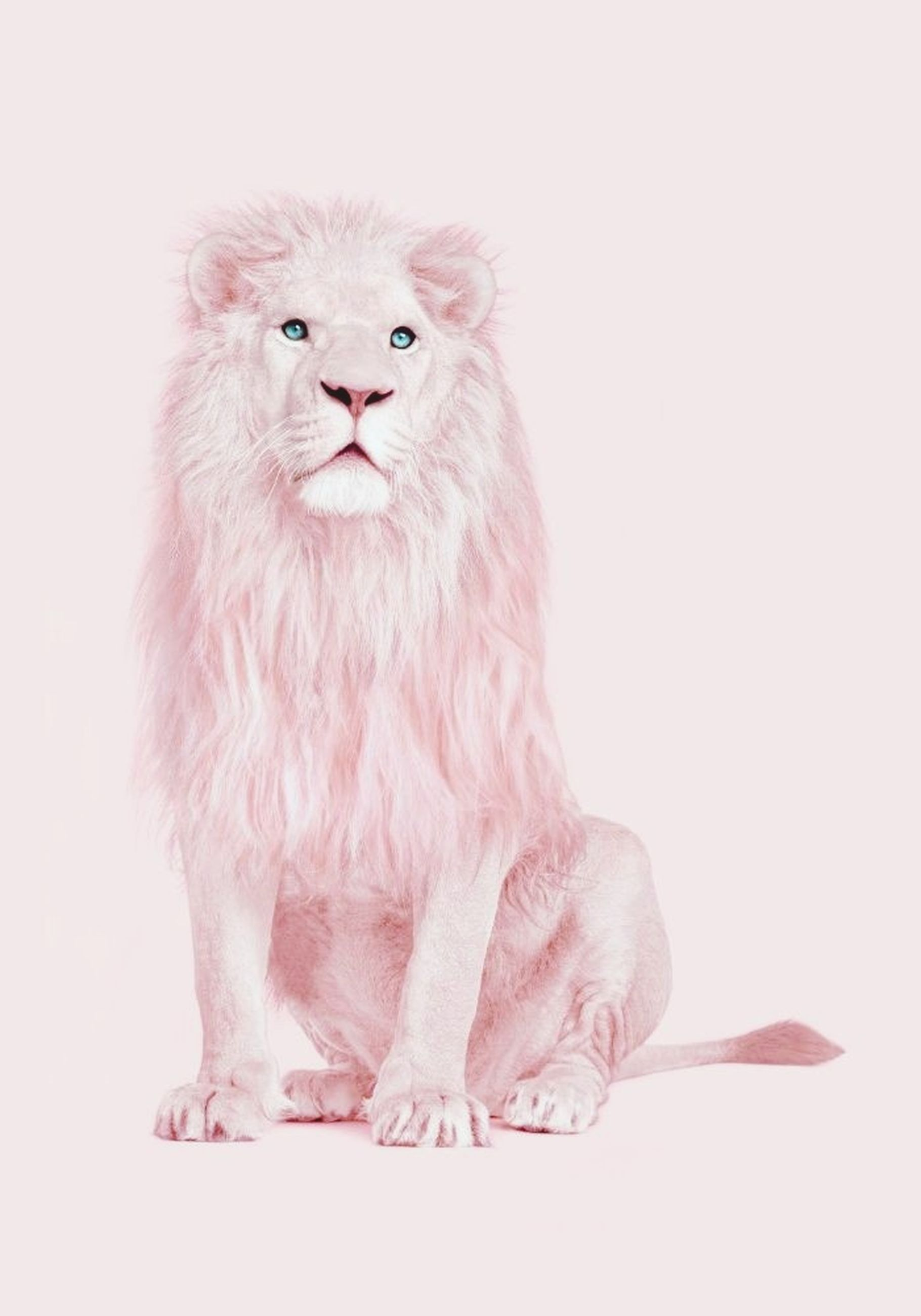 one animal, pets, studio shot, domestic cat, feline, domestic animals, pink color, animal themes, portrait, white background, full length, looking at camera, mammal, persian cat, no people, close-up