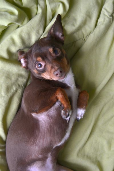 Dog Dog In Bed Small Dog Pinscher Dachshund Pets One Animal Animal Domestic Animals Mammal Animal Themes Indoors  No People Cute Bed Looking At Camera Young Animal Portrait Lying Down Close-up Day