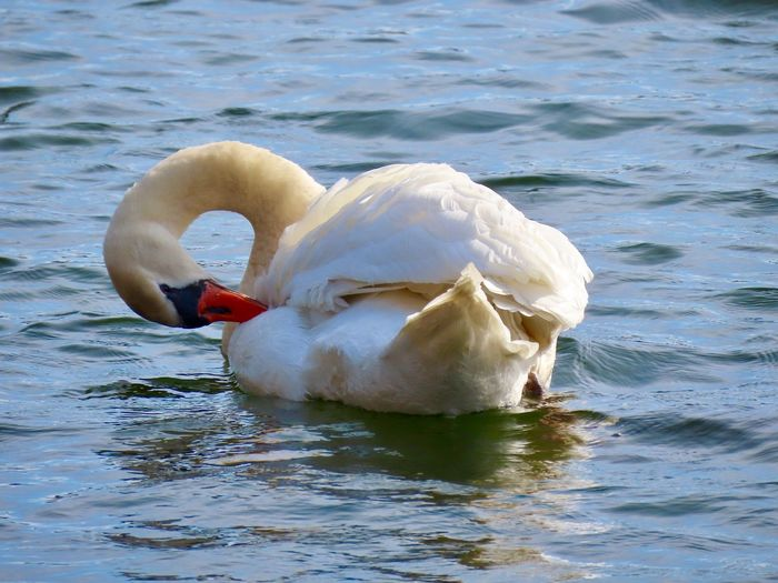 Mute swan preening on the water animal themes birdwatching beauty in nature outdoors Water Animal Wildlife Water Bird Nature No People