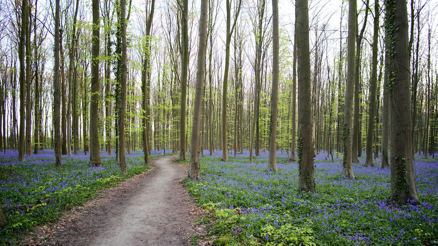 The magic of Hallerbos - bluebells - April 2019 - Forest Plant Tree Land WoodLand Beauty In Nature Tranquility Nature Trunk Tree Trunk Growth Scenics - Nature Tranquil Scene No People Non-urban Scene Day Direction The Way Forward Green Color Landscape Outdoors Pine Woodland Trail Bluebells Hallerbos Bois De Hal Hyacinth Flower