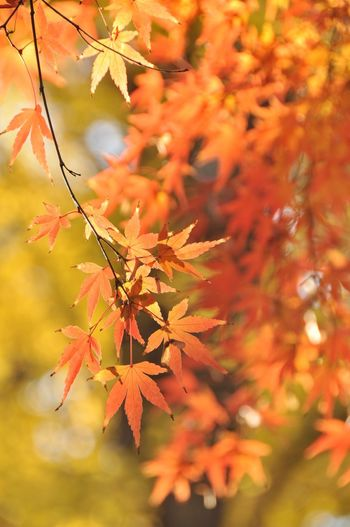 Japan Japan Photography Autumn Autumn Collection Beauty In Nature Branch Change Close-up Day Fall Focus On Foreground Growth Leaf Leaves Maple Leaf Maple Tree Natural Condition Nature No People Orange Color Outdoors Plant Plant Part Selective Focus Tree