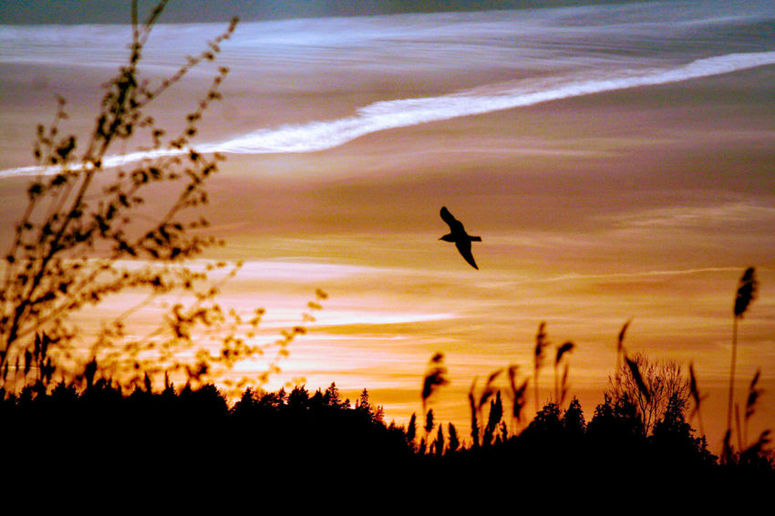 siluett Sweden The True Story EyeEmNewHere Bird Flying Spread Wings Tree Sunset Silhouette Sky Flight Countryside Lakeside Summer Exploratorium