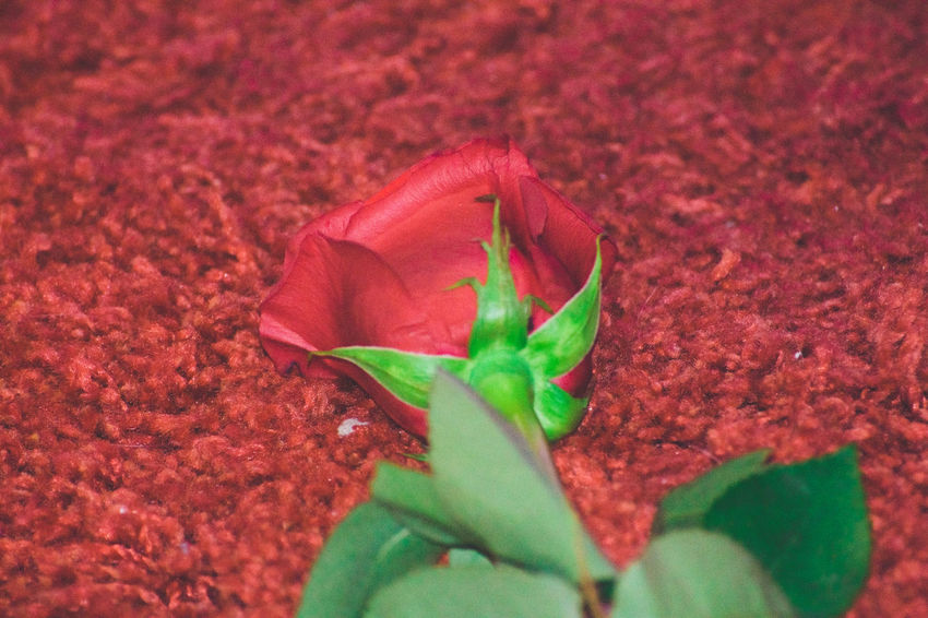 The red rose bud EyeEm Nature Lover EyeEm Selects EyeEm Gallery EyeEmNewHere Beauty In Nature Close-up Day Flower Flower Head Flowering Plant Fragility Freshness Green Color Growth Inflorescence Leaf Nature No People Outdoors Petal Plant Plant Part Red Selective Focus Vulnerability