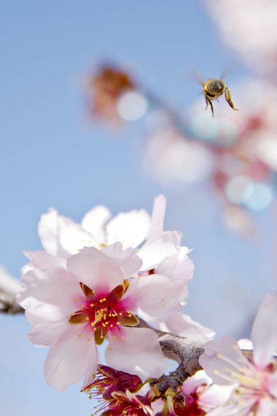 Abejas Almond Tree Animal Wildlife Beauty In Nature Blossom Close-up Flower Fragility Insect Napatu Nature One Animal Petal Springtime Tree