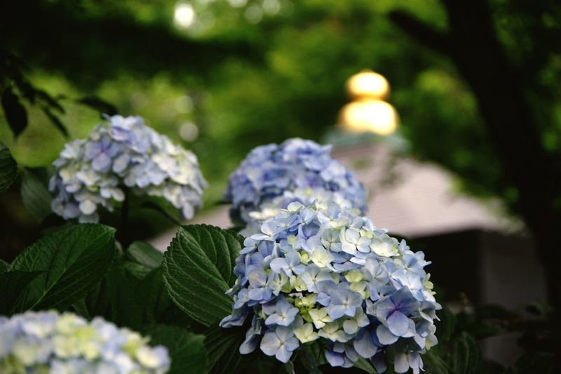 Pentax K-3 あじさい あじさい寺 川崎 妙楽寺 長尾の里あじさいまつり Flower Plant Hydrangea