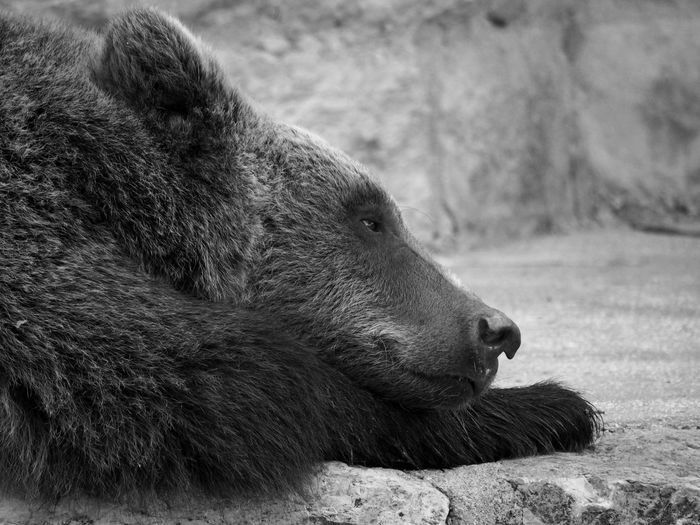 the bear is stepping Animal Animal Body Part Animal Head  Animal Themes Animal Wildlife Animals In The Wild Bear Close-up Cuddly Day Focus On Foreground Hedonism Mammal Nap Nature No People One Animal Outdoors Profile View Relaxation Resting Side View Vertebrate