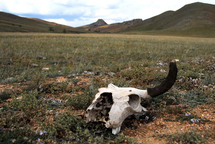 Animal Skull On Field