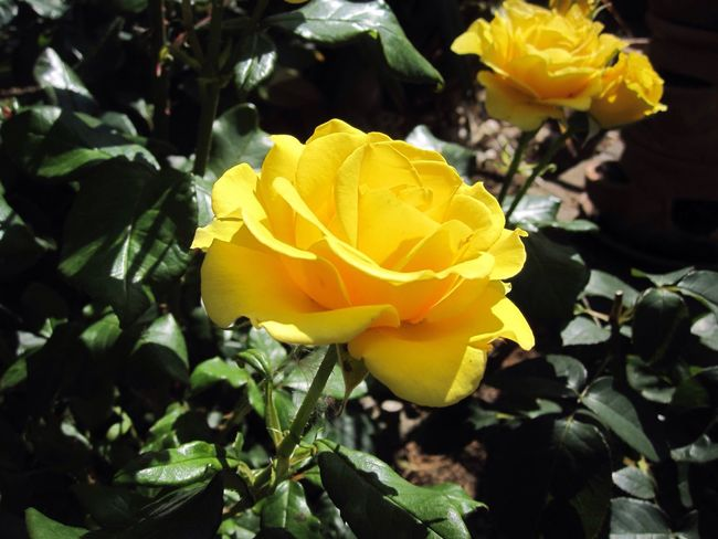 Yellow Flower Yellow Yellow Rose Roses Rose🌹 Rose - Flower Nature_collection Nature Photography Flowers, Nature And Beauty Flowers,Plants & Garden