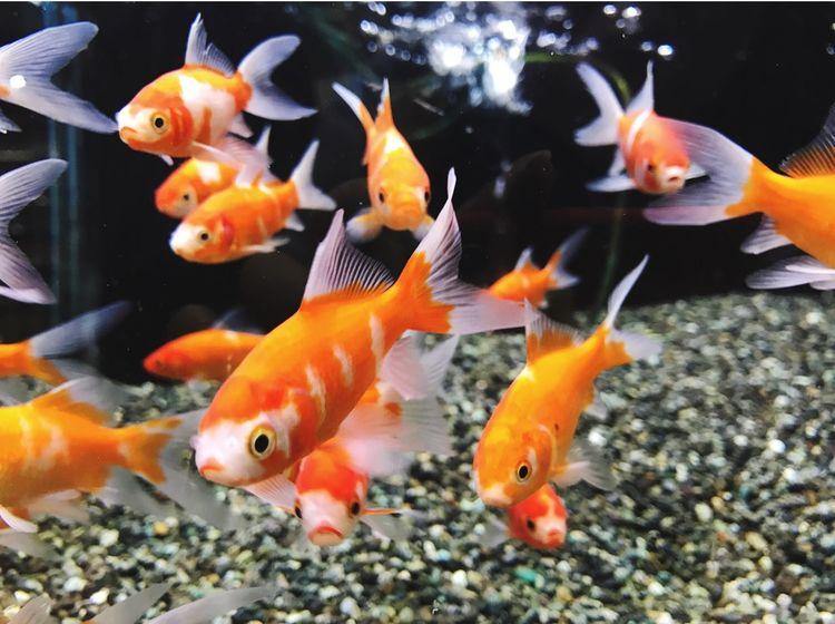 金魚 きんぎょ Goldfish