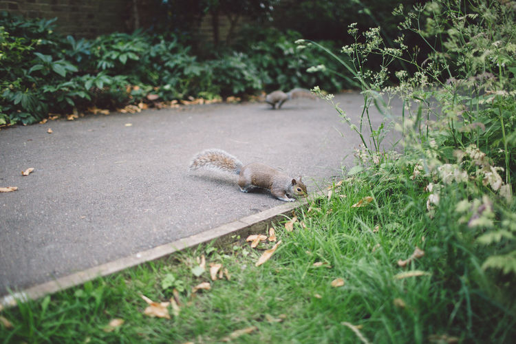 Squirrel crossing an alley