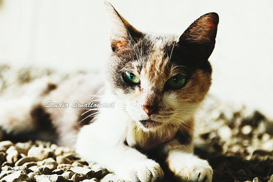 痩せた三毛猫 三毛猫 地域猫 野良猫 猫 多摩川 怪我 河原