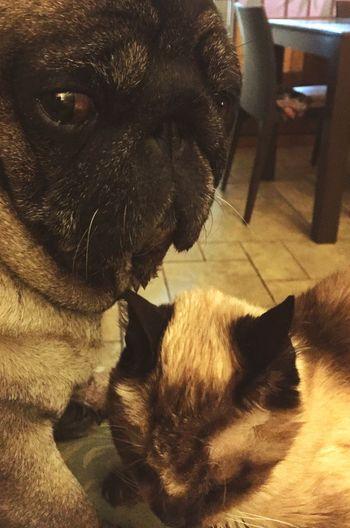 Pug Life  Cane E Gatto Micia Faccione Carlino Siamese Cat Friendship Occhioni Occhioni Dolci Pets Magic Moments Due Protection Like A Dog And Cat Sunday Afternoon Company Coppia Inseparable Inseparabili Inseparable_souls