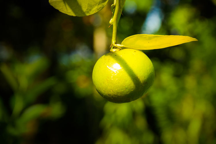 Close-up of lemon growing on tree