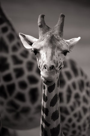 Animals In The Wild Black And White Close-up Cute Focus On Foreground Funny Face Giraffe Giraffe Eating Giraffe Head Giraffe Portrait Giraffe Sticking Tongue Out Giraffe Tongue Herbivorous Mammal One Animal Outdoors Safari Animals Wildlife Young Giraffe Zoo