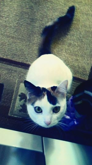 Pets Domestic Animals One Animal Animal Themes Domestic Cat Whisker )8)