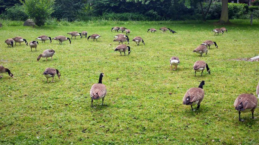 Animal Themes Large Group Of Animals Bird Nature Outdoors Grass Goose Park Canada Goose Nil Goose