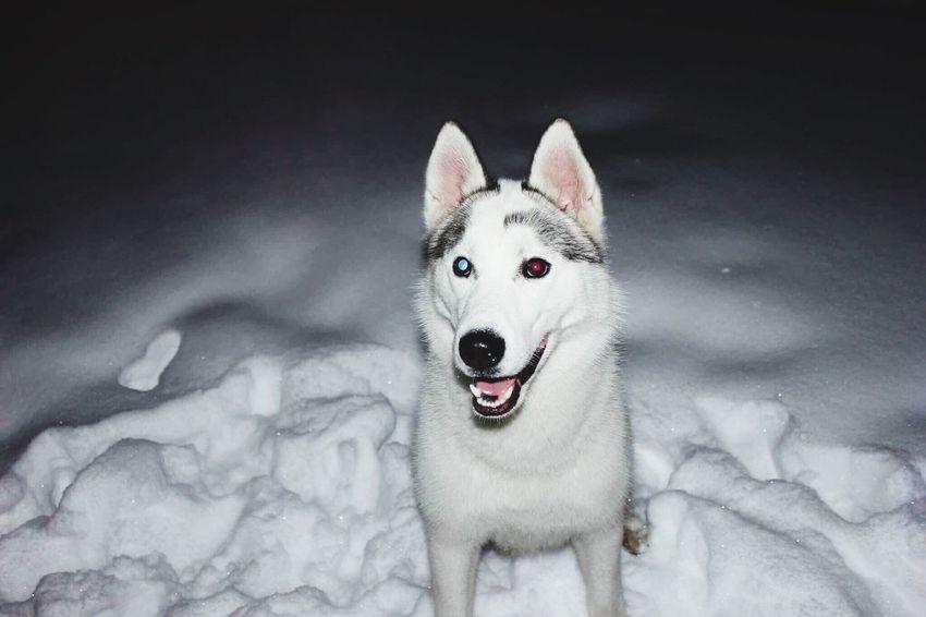 EyeEmNewHere Zeus Dog Husky Animal Snow First Eyeem Photo EyeEmNewHere Pet Portraits The Week On EyeEm