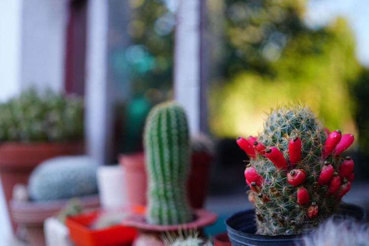 Los cactus en una ventana Cactus Green Home Pink Red Flowers Garden Pink Color Pink Flower Windows