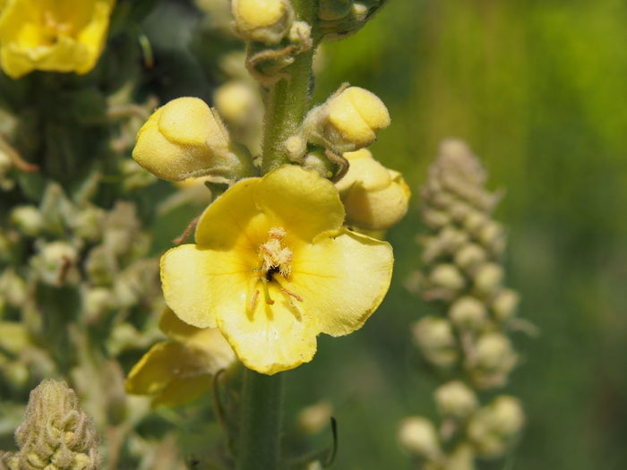 Blooming Verbascum thapsus - great mullein Summer Flowers Wildflower Yellow Flower Beauty In Nature Bud Close-up Flower Flower Head Flowering Plant Freshness Growth Inflorescence Mullein Nature Nature_collection Outdoors Petal Plant Verbascum Verbascum Thapsus Yellow