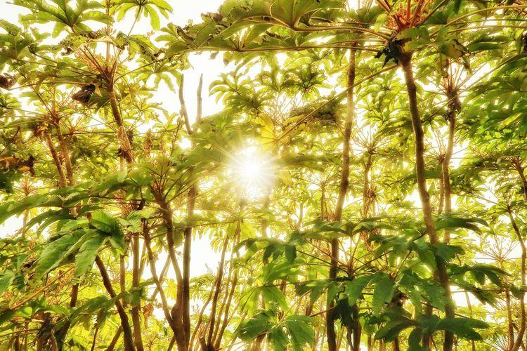 廃墟 亜熱帯植物 葉っぱ 太陽 Tree Low Angle View Nature Growth Beauty In Nature Outdoors Tranquility Tranquil Scene Sunlight Sky Forest Day Branch No People Cloud - Sky Sunset EyeEmNewHere EyeEm Nature Lover Japan Photography Beauty In Nature Plants