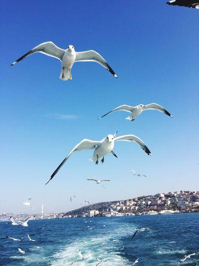 Seagulls of Istanbul