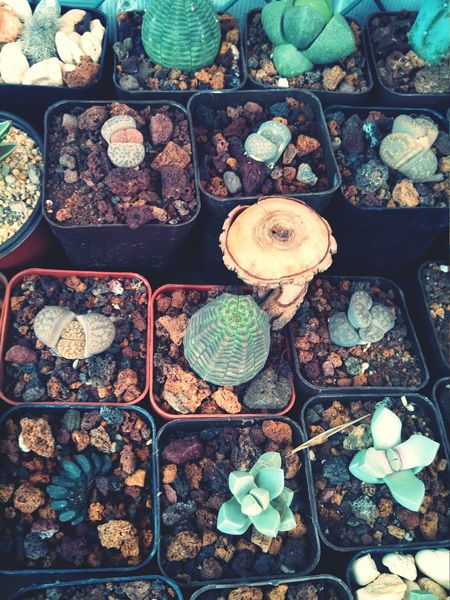 Lithops Plants Itsagreenworld Nature Euforbia obesa