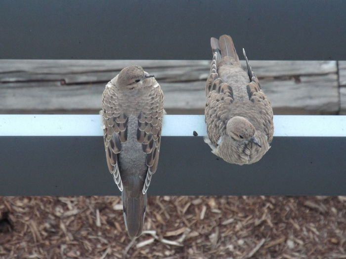 High angle view of mourning doves perching on railing