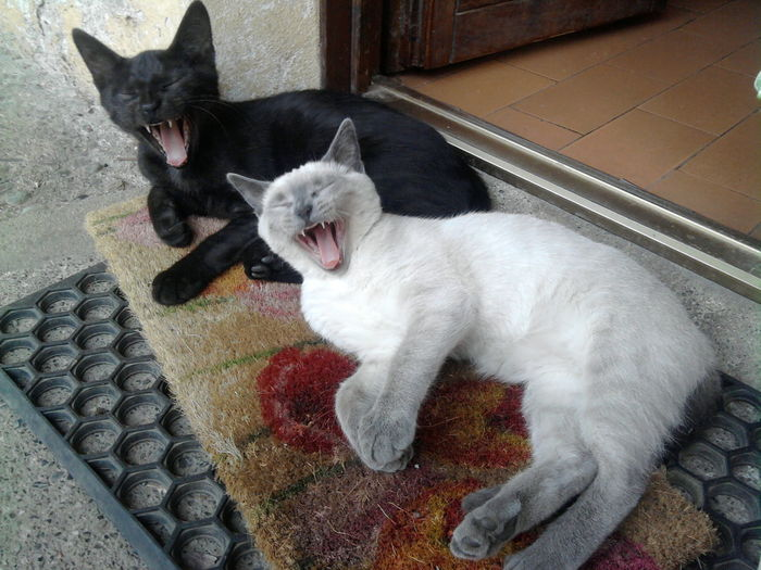 Animal Themes Black Color Cat Catyawn Catyawning Day Domestic Animals Domestic Cat Feline Outdoors Pets Sbadiglio Tired Two Cats Two Cats On The Floor Yawn Yawning Cat