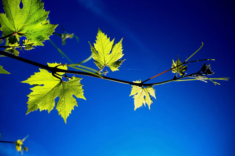 Investing In Quality Of Life Summertime Vines Autumn Beauty In Nature Blue Blue Sky Clear Sky Close-up Day Greenery Growth Leaf Low Angle View Nature No People Outdoors Stems Are Pretty Too Summer Tree Vineleaves Vines And Leaf Vines And Leaves Vineyard