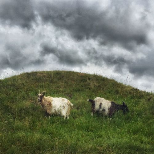 Painterly goats under a thunderous sky Art Is Everywhere Grass Cloud - Sky Cloudy Sky Summer Goat Life Dutch Countyside aAnimal ThemesfFieldmMammalsSkynNaturedDomestic AnimalsdDaynoOutdoorslLandscapelLivestockbBeauty In NaturegGrazingsSheeptTogethernesssStorm Cloud