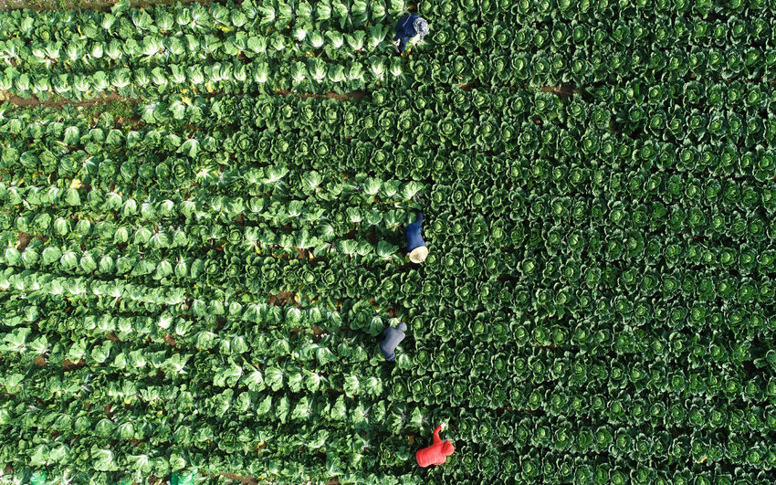 Napa Cabbage Chinese Cabbage Autumn Green Color Plant Growth High Angle View Day Nature Field Outdoors Land Backgrounds Beauty In Nature Agriculture Aerial View Grass Harvest Harvesting Harvest Season Farmland Farm Life Farmer Drone  Dronephotography