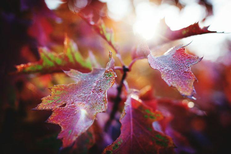 Leaf Autumn UnderSea Water Multi Colored Close-up Leaves Monsoon Rainy Season Maple Leaf Vein Maple Tree RainDrop Drop