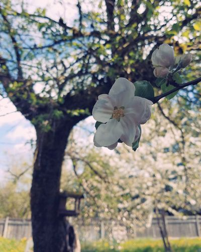 Tree Branch Flower Day Growth Nature Close-up Outdoors Fragility Beauty In Nature Flower Head Apple Blossom Spring