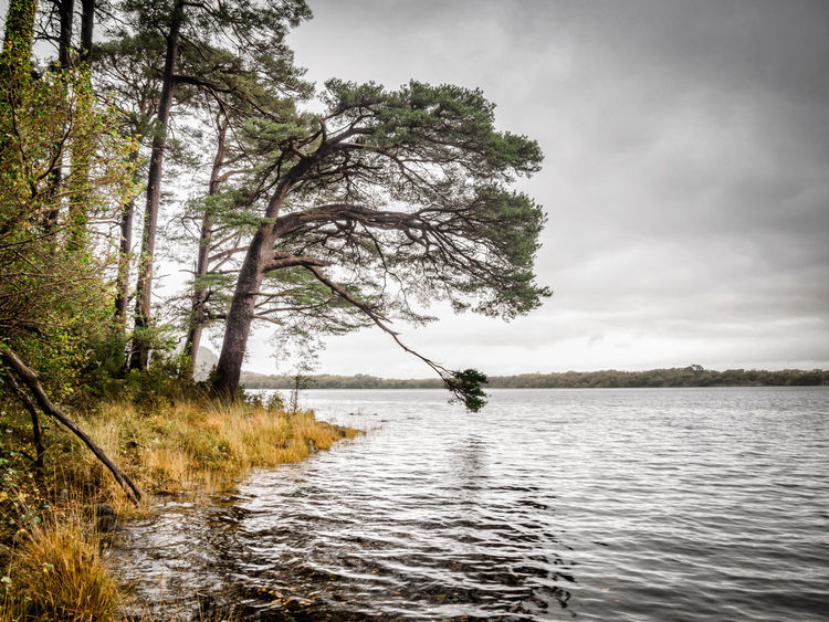 A fine old Scots Pine 🌲 by Muckross Lake Tree Lake Water Outdoors Nature Tranquility Tranquil Scene Cloud - Sky Rippled Scenics Fishing Day Landscape Rural Scene Beauty In Nature Sky Muckross Lake Ireland Killarney  Autumn🍁🍁🍁 Scots Pine