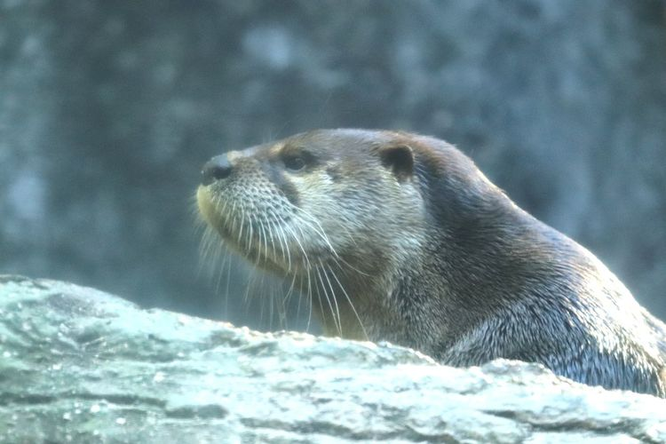 Portrait of a River Otter Zoo Photography  Otter Animal Wildlife Animal Themes Animal One Animal Mammal Water Nature Vertebrate No People Aquatic Mammal Whisker Animal Head