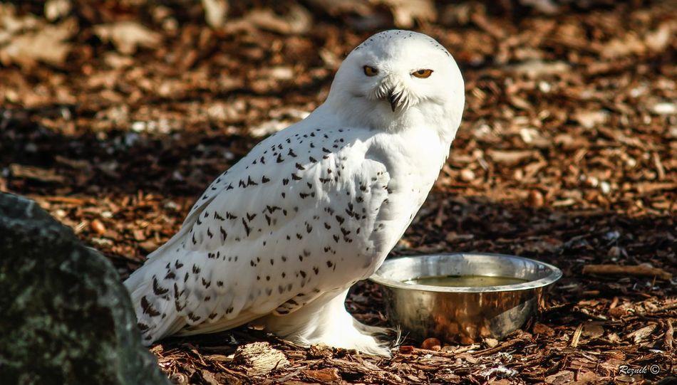 Animal Themes Animal Wildlife Bird Harry Potter Harrypotter Hedwig Nature Owl Snow Owl White White Owl Wild