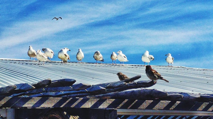 All Birds Together Seagulls Beach Blue Sky Rooftops Rooftop View  Roof Top Rooftop Scenery Rooftopphotography Birds Chilling Summer Views Summertime 100 Days Of Summer