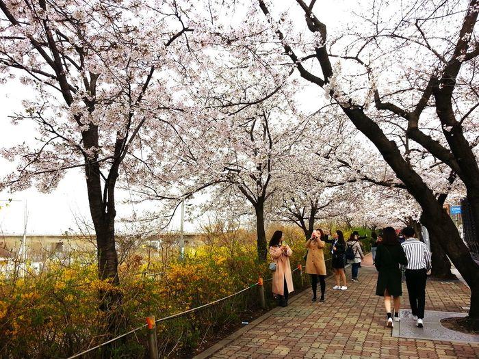 Cherry Blossom South Korea In Yeoido Hanriverpark Tree Men Full Length Togetherness Women Standing Sky Cherry Tree Flower Tree Blossom Cherry