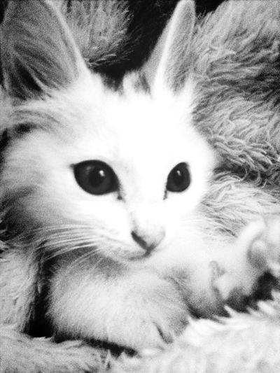 Kit kat kkk Cat