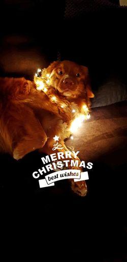 To all of you Season  Cristmas Light And Shadow Fun Dog Novascotiaducktollingretriever Portrait Wishes