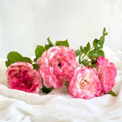 Розы ( Rose) Flower Rose - Flower Blumen букетик романтика розы Rose🌹 Romantic Flowers цветочноенастроение цветочки 🌼 цветы розовый розовыерозы розовый цветок Pink Flower Pink Rose