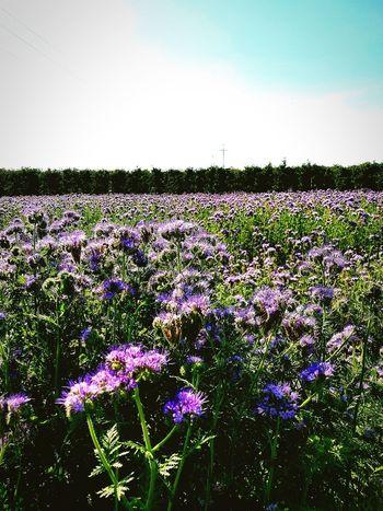Facelia Flower Rural Scene Agriculture Field Flower Head Tree Sky Plant