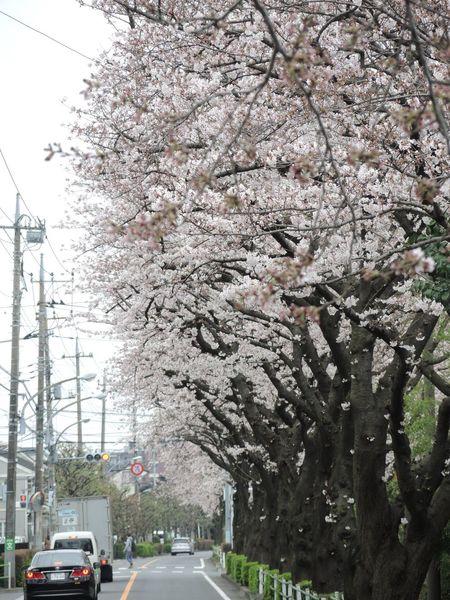 Tokyo Japan Roadside Tree Sakura Cherry Blossoms