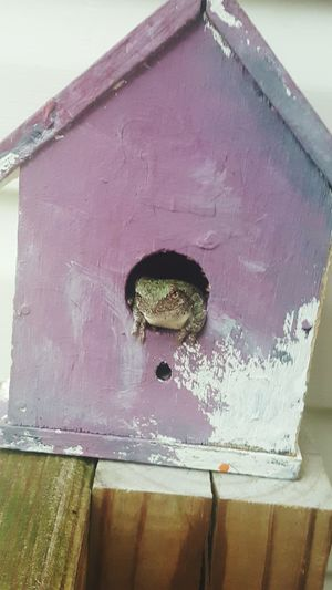 No Longer My Sons Birf House A Frog Has Now Made It Homr. He Looks Happy Anyhoe. Day No People Eyem And Getty Collection Nature_collection Android Photography Frog Frog Perspective Frog On My Front Porch Nature On Your Doorstep USA Photos Check This Out This Week On Eyeem Hanging Out Getty & Eyeem Birdhouse Popular Checking Out The View Taking Photos ❤