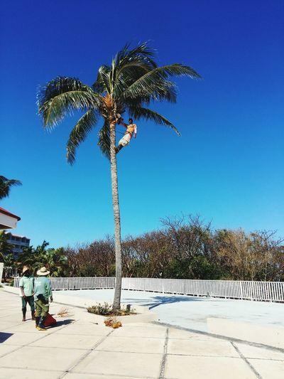 Newoneyeem Coconut Palm Tree Tree Clear Sky Palm Tree Tropical Tree