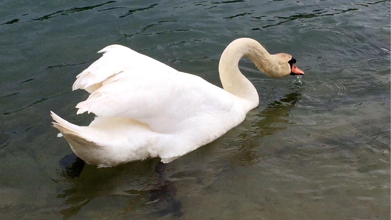 swan, animal themes, animals in the wild, lake, bird, water, one animal, swimming, white color, water bird, nature, day, no people, animal wildlife, floating on water, beak, outdoors, close-up