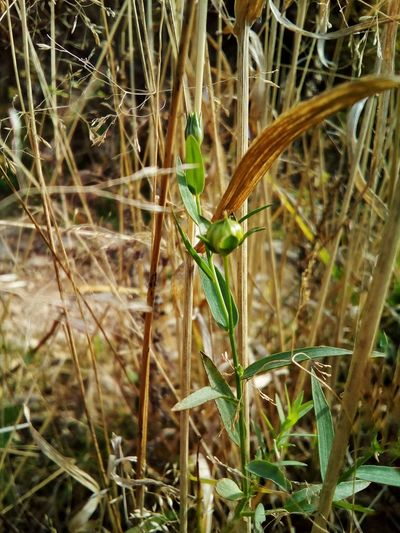 Linen plant with the seed box Plant Nature Day Close-up Fragility Grass Green Color Growth Outdoors No People Beauty In Nature Linen Autumn October Linum