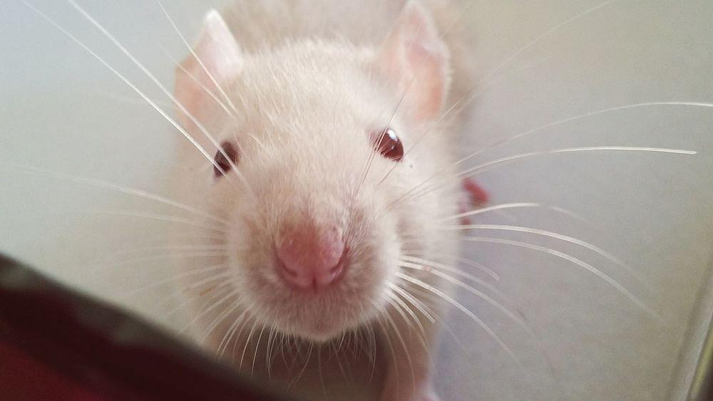 I'm not nasty! Pet Pet Rat First Eyeem Photo