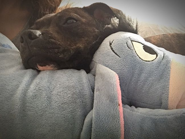 Chilling with my mommy and my favorite teddy 💜 Cute Pets Ilovemydog Staffordshire Bull Terrier Mydogiscoolerthanyourkids Sleepy Puppy Lookatthatface Can't Live Without Lovemydog Enjoying Life Staffylove